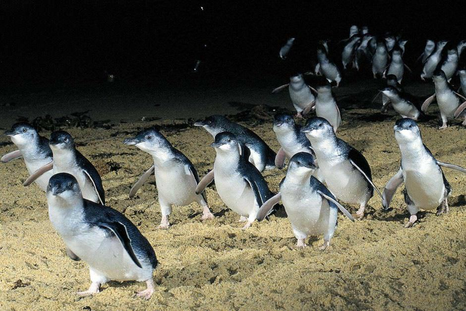 Fairy Penguins, Victoria