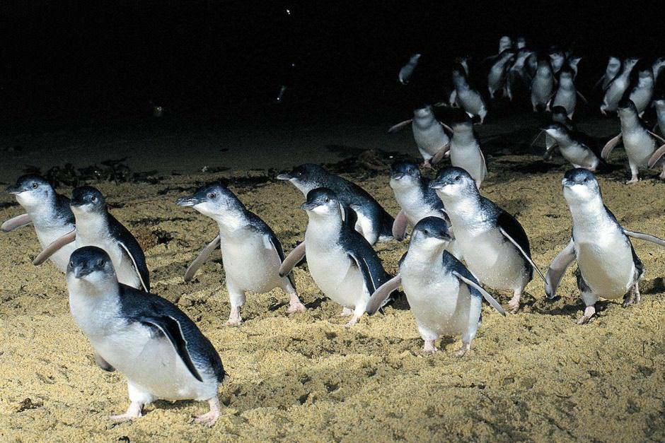 Fairy Penguins, Victoria