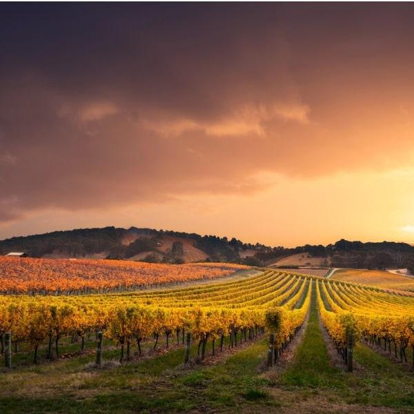 vineyard 600x600